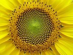 Fibonacci spiral in a sunflower